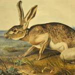 Audobon print of a wild rabbit