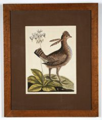 Hand tinted etching of a bird and flower.  The bird is facing right and has two long feathers extending from its neck. This is the now extinct Heath Hen or Greater Prarie Chicken that was once found on the eastern seaboard from New England to Virginia. The 'Eastern Shooting Star' or Dodecatheon Meadia is the flower depicted.