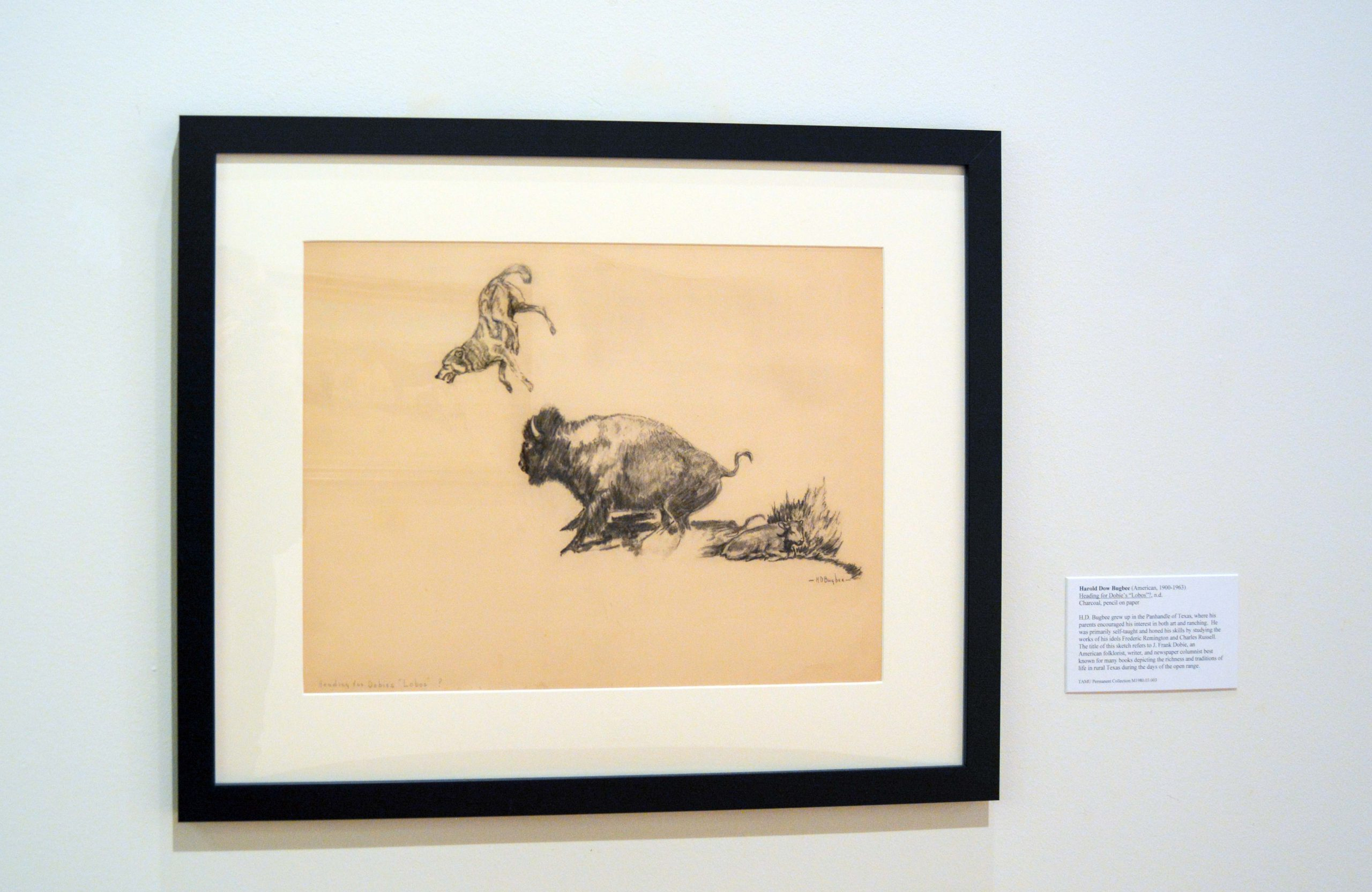 Drawing of a buffalo bucking a coyote in the air