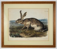 Audobon color drawing of a wild hare.